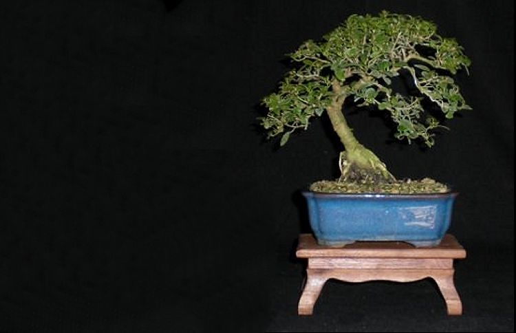 care and maintenance of bonsai